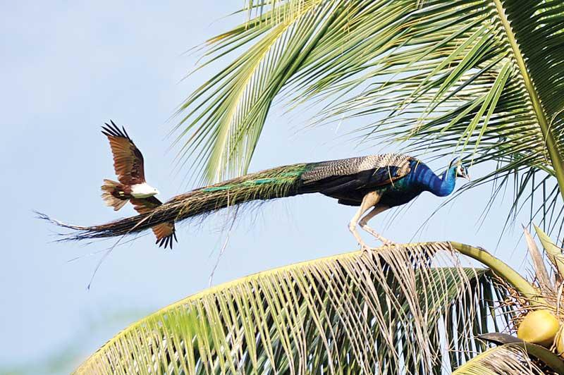 Where the peacock dares: