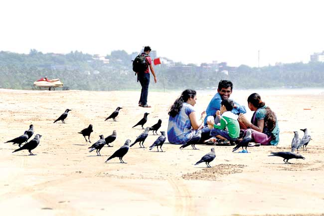 Feathered beach cleaners: Crows gather for crumbs and leftovers at the Miramar beach as a family enjoys a meal on the sands.    Photo by: vincent braganza