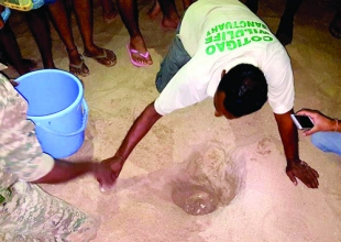Olive Ridley turtle lays 113 eggs at Patnem beach