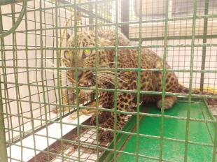 Leopard falls into well, rescued
