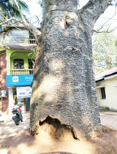 Portuguese-era Baobab tree treated  for infection