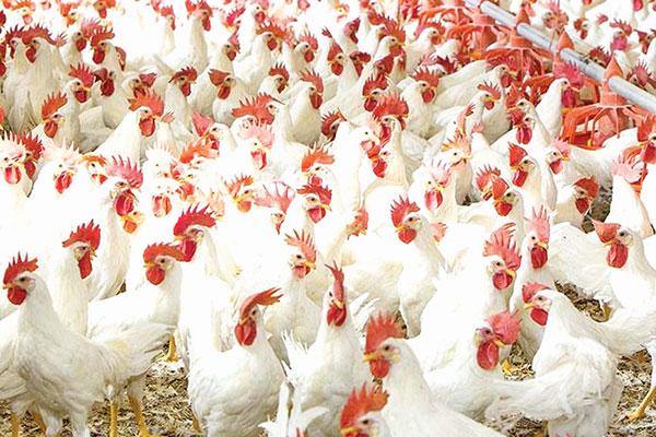 State not affected by Bird Flu: Goa Poultry Assn